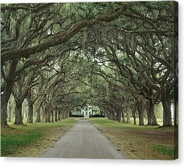 147706-avenue Of The Oaks  Canvas Print