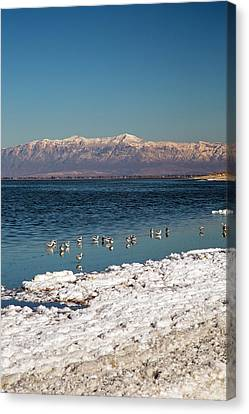 Avocets On Antelope Island Canvas Print by Jim West