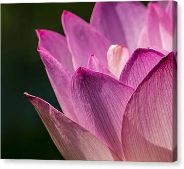 Awakening Lotus Canvas Print by Jon Woodhams