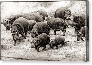 Aware Hippos Canvas Print by Mike Gaudaur