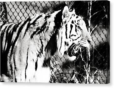 Axl - Tiger In Black And White Canvas Print