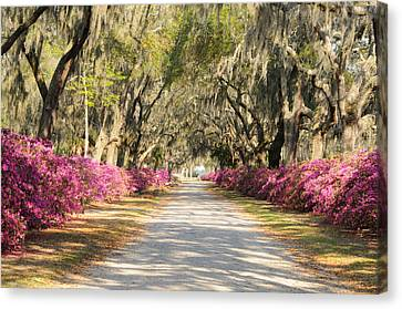 Canvas Print featuring the photograph azalea lined road in Spring by Bradford Martin