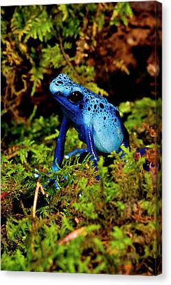 Azure Dart Frog Dendrobates Azureus Canvas Print by David Northcott
