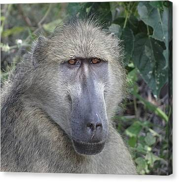 Baboon Portrait Canvas Print by Bruce W Krucke