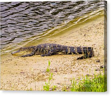 Baby Alligator At The Lake Canvas Print by Zina Stromberg