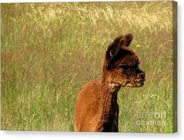Baby Alpaca Canvas Print