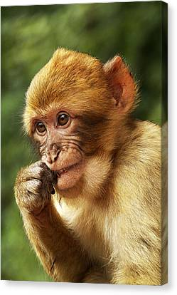 Canvas Print featuring the photograph Baby Barbary Macaque by Selke Boris