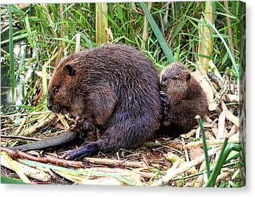 Baby Beaver With Mother Canvas Print