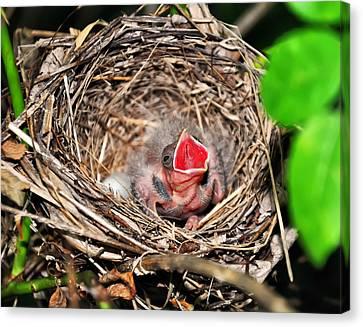 Baby Bird In Nest Canvas Print by Chris Flees