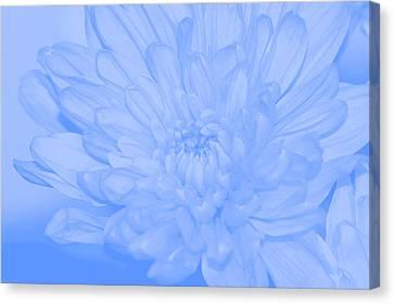 Baby Blue 3 Canvas Print by Carol Lynch
