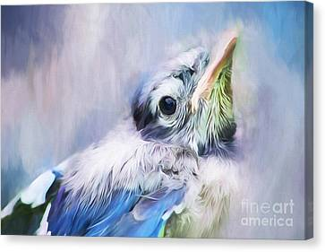 Baby Blue Jay Canvas Print by Darren Fisher