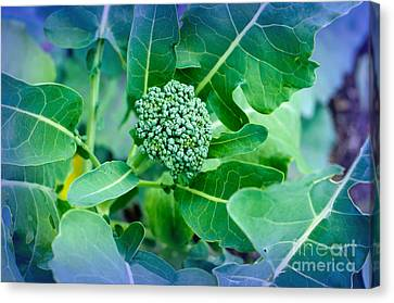 Baby Broccoli - Vegetable - Garden Canvas Print by Andee Design