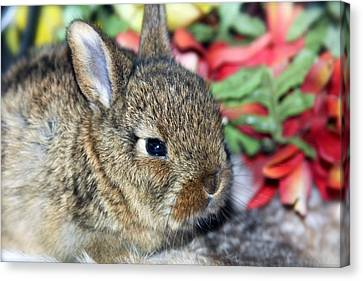 Baby Bunny Rabbit Canvas Print by Karon Melillo DeVega