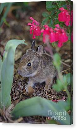 Canvas Print featuring the photograph Baby Bunny by Tannis  Baldwin