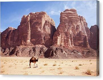 Baby Camel And Mother  Wadi Rum, Jordan Canvas Print by Chris Bradley