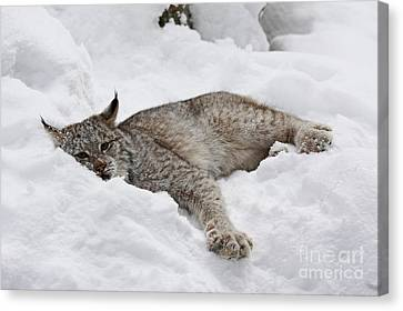 Shelley Myke Canvas Print - Baby Canadian Lynx Laying In The Snow by Inspired Nature Photography Fine Art Photography