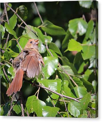 Baby Cardinal - 2 Canvas Print by Christy Cox