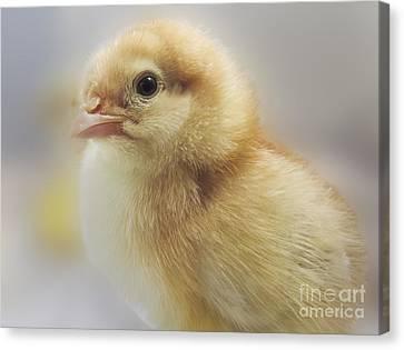 Baby Chicken Canvas Print by Darleen Stry