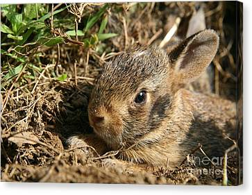 Baby Eastern Cottontail Canvas Print by Neal Eslinger