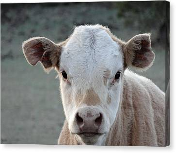 Baby Cow In Colorado Canvas Print