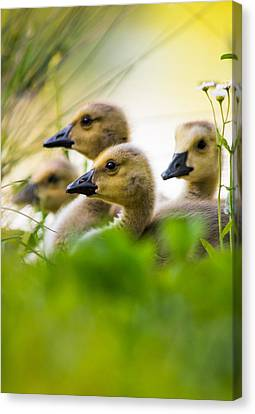 Ducklings Canvas Print - Baby Ducklings by Parker Cunningham