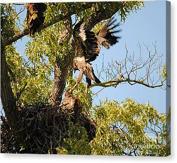 Baby Eagle Trying To Fly Canvas Print