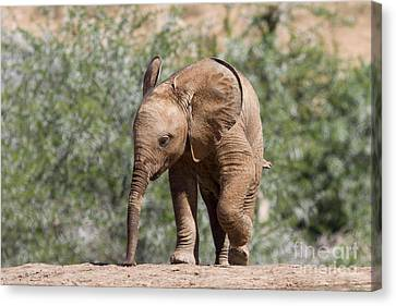 Baby Series Elephant Canvas Print