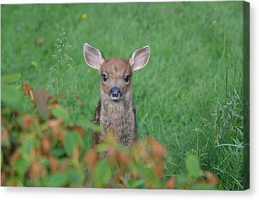 Canvas Print featuring the photograph Baby Fawn In Yard by Kym Backland