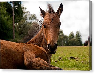 Baby Foal Canvas Print