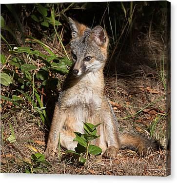 Fox Kit Canvas Print - Baby Fox Sunning by Kathleen Bishop