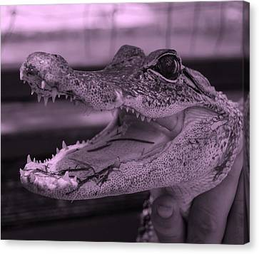 Baby Gator Pink Canvas Print by Rob Hans