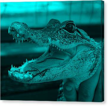 Baby Gator Turquoise Canvas Print by Rob Hans