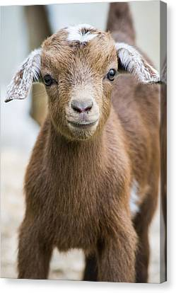 Baby Goat Canvas Print by Shelby  Young