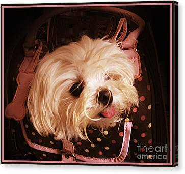 Baby In A Bag Maltese Puppy Canvas Print by Margaret Newcomb