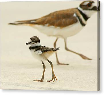 Baby Killdeer Canvas Print