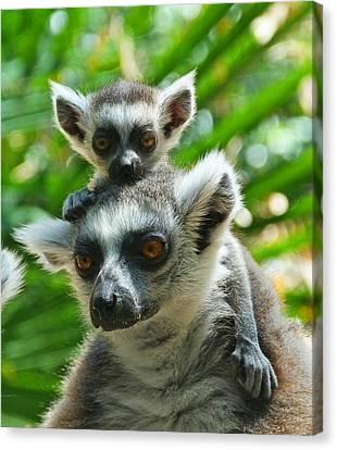 Baby Lemur Views The World Canvas Print