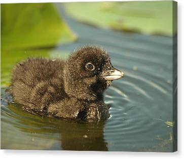 Canvas Print featuring the photograph Baby Loon by James Peterson