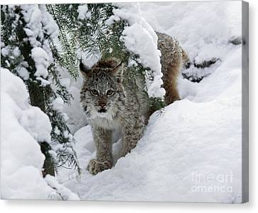 Shelley Myke Canvas Print - Baby Lynx Hiding In A Snowy Pine Forest by Inspired Nature Photography Fine Art Photography