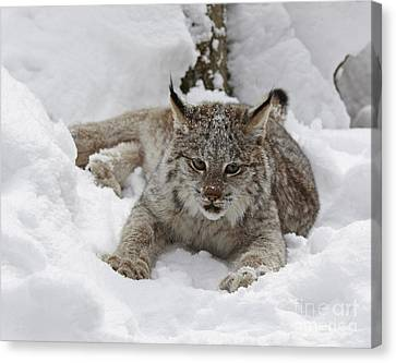 Baby Lynx On A Lazy Winter Day Canvas Print by Inspired Nature Photography Fine Art Photography