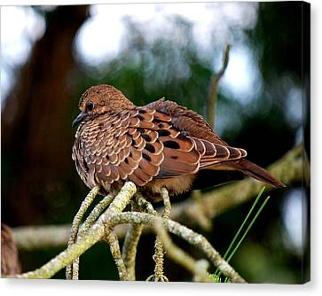 Baby Mourning Dove Canvas Print by Mary Beth Landis