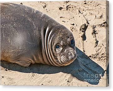 Baby Northern Elephant Seals Mirounga Angustirostris At The Piedras Blancas Beach Canvas Print by Jamie Pham