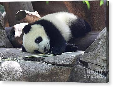 Canvas Print featuring the photograph Baby Panda by John Telfer