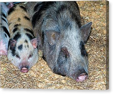 Baby Pot Bellied Pig With Mother Canvas Print by Millard H. Sharp