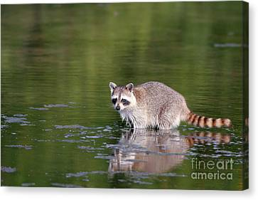 Baby Raccoon In Green Water Canvas Print