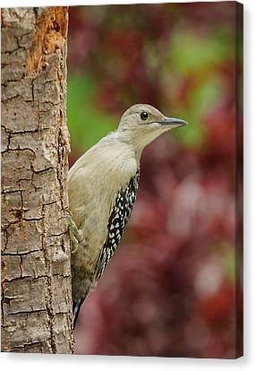 Baby Red Bellied Woodpecker Canvas Print by Lara Ellis