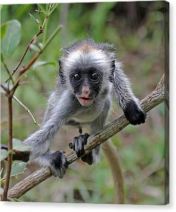 Baby Red Colobus Monkey Canvas Print