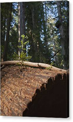 Baby Redwood Canvas Print