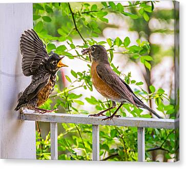 Baby Robin - Feed Me Mom Canvas Print by Steve Harrington