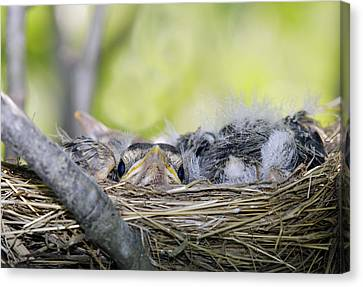 Canvas Print featuring the photograph Baby Robins by David Lester