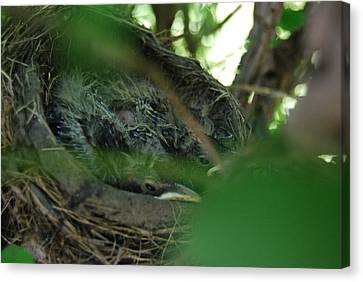 Canvas Print featuring the photograph Baby Robins Nesting by Ramona Whiteaker